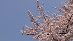 Spring cherry blossoms and a blue sky _ 01