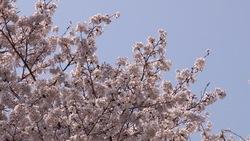 春らしい桜と青空_03