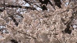 春らしい桜_02