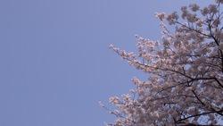 春らしい桜と青空_07