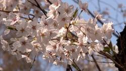 春らしい桜と青空_04